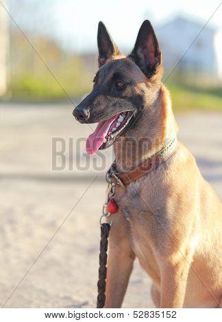 Shepard Dog Looking Outdoors Background. Closeup Portrait