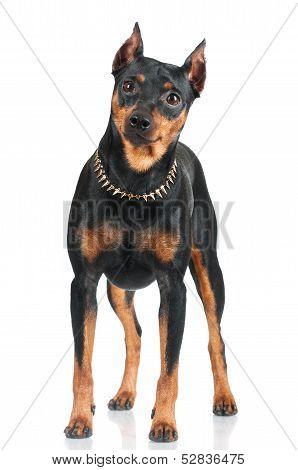 black pincher dog