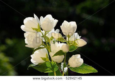 White Jasmine Flowers On Green Background