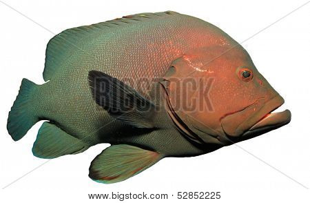 Redmouth Grouper isolated on white background