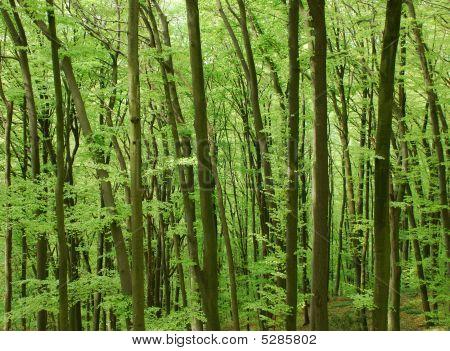 Beechforest_2