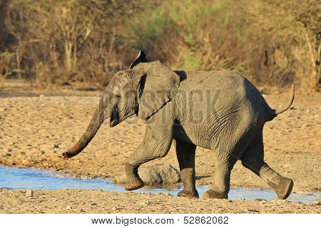 Elephant, African - Wildlife Background from Africa - Run of the Baby Bull