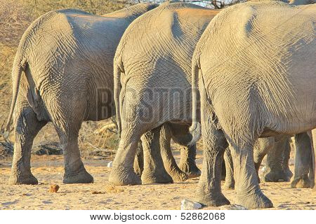 Elephant, African - Wildlife background from Africa - Three rear ends in Nature's diet clinic