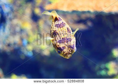 Diodontidae