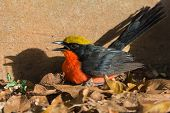 Yellow-crowned Gonolek Beside Wall At Sunset