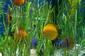picture of butterfly fish  - tropical  aquarium with fishes  and green water plants - JPG