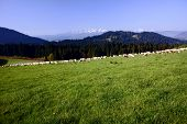 stock photo of pieniny  - flock of sheep in Pieniny mountains Poland - JPG