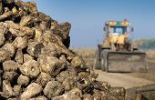 stock photo of sugar industry  - Sugar beet pile after harvest in first plan - JPG