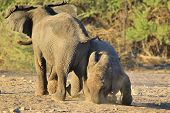 foto of calf  - Two Elephant calves play while the rest of the herd is relaxing - JPG