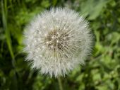 stock photo of spores  - White Dandelion with spores on the green background - JPG