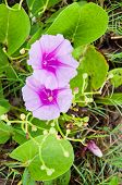 Goat's Foot Creeper or Beach Morning Glory on the beach at Songkhla
