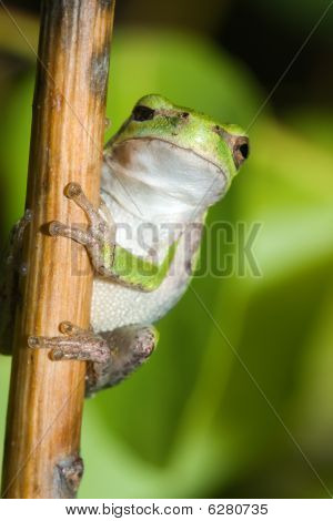 One Eyed Cope's Gray Tree Frog.