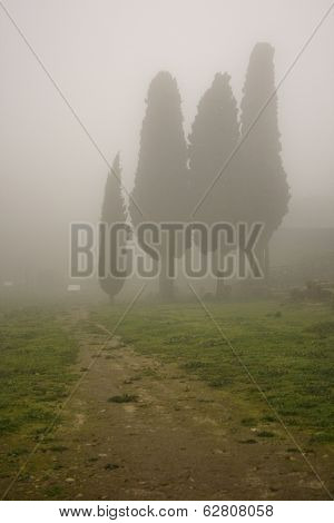 Cypress In The Fog