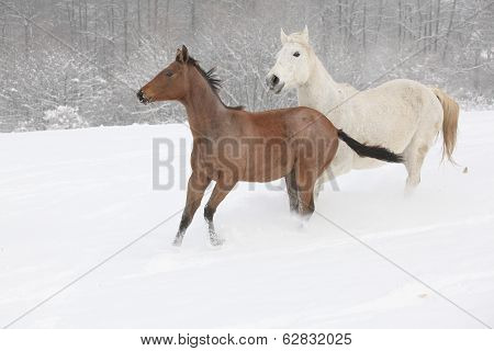 Two Moravian Warmbloods Running In Winter