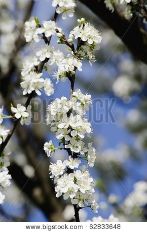 Apple-tree Blossoming