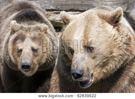 Two Brown Bears (ursus Arctos Arctos)