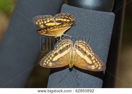 The Little Banded Yeoman Butterflies