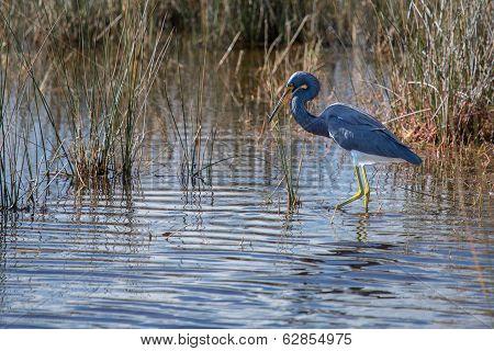 Tricolored Heron Walking The Wetlands