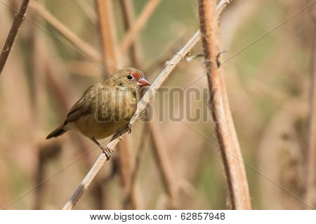 Female Red-billed Firefinch Perched On Dried Stalks