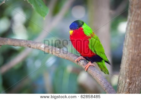 Collared Lory of the Fiji Islands on a Branch.