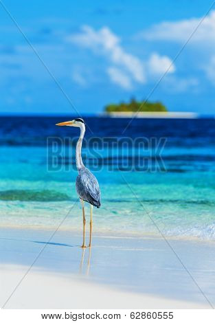 Grey heron standing on the beach on Maldives island, looking on the ocean, beautiful wild bird, exotic nature, summer tourism concept