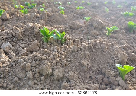 Seedlings On A Field