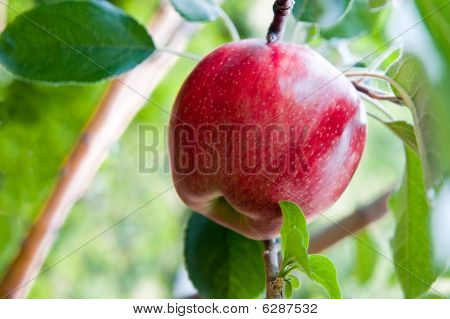 Sweet Red Apple