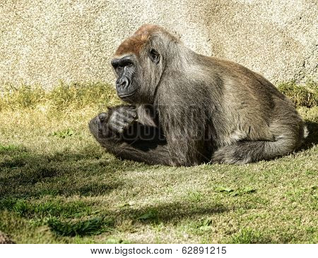 very nice image of an adult silverback gorilla