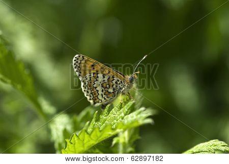 Glanville Fritillary Butterfly, Melitaea Cinxia