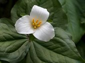 picture of trillium  - Closeup of a Pacific Trillium in the forest - JPG