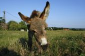 picture of jack-ass  - Donkey foal at green meadow with blue sky - JPG