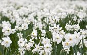 pic of daffodils  - Planting white daffodils in spring garden - JPG