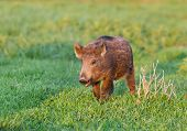 foto of boar  - Little wild boar walking on grassland in wilderness - JPG