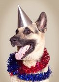 pic of alsatian  - Funny Alsatian dog ready to celebrate a holiday - JPG