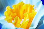 stock photo of jonquils  - Macro image of spring flower - JPG