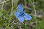 stock photo of adonis  - Adonis blue butterfly Polyommatus bellargus - JPG