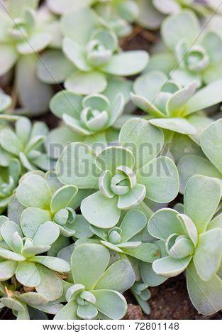 Close Up Of Succulent Plants.