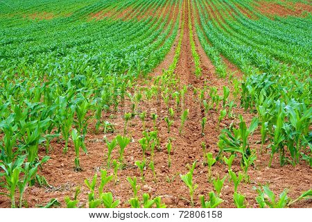 Sweetcorn Crop With New Growth
