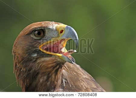 Golden Eagle With A Yellow Beak And Bright Eyes
