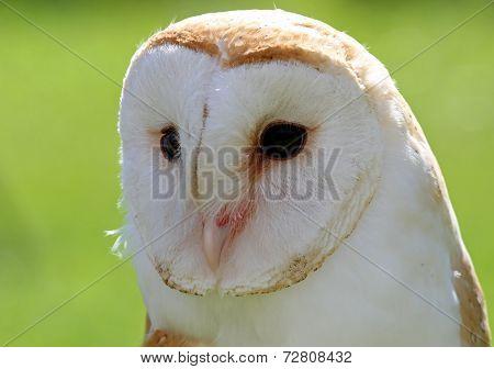 White Barn Owl With Dark Eyes