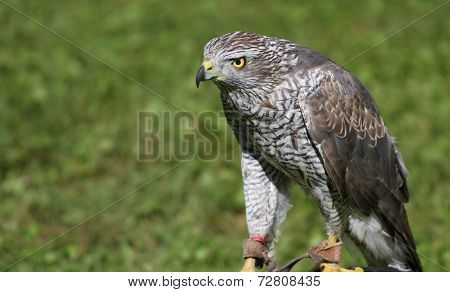 Peregrine Falcon Perched On A Trestle During A Demonstration Of Birds Of Prey