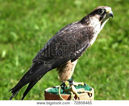 Young Specimen Of Peregrine Falcon On A Trestle