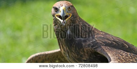 Eagle With Open Beak That Looks The Camera