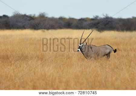 Gemsbok In The Tall Grass