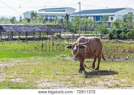 Albino Buffalo (white Buffalo) Graze On The Meadow