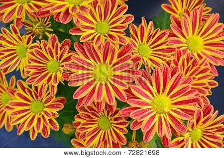 Red And Yellow Striped Chrysanthemums