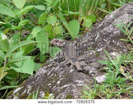 Himalayan Agama Lizard Blends In Rock