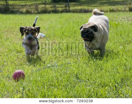 Two Pugs Running After Ball