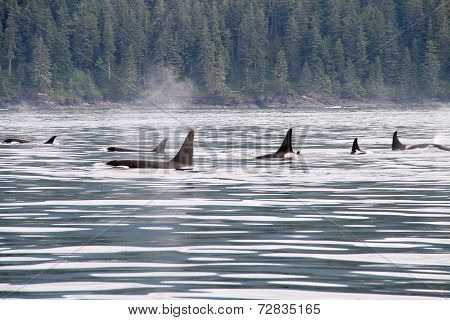 ORCAS ON THE MOVE