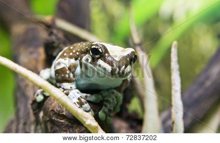 Amazon Milk Frog (phrynohyas Resinifictrix)